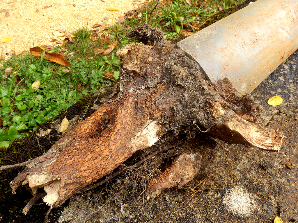 Could Roots Be Taking Over Your Pipes? Here's What to Look for: